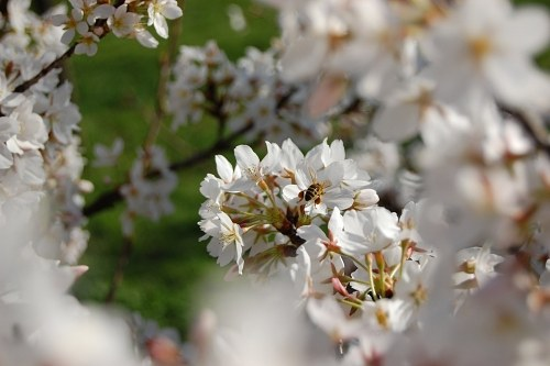 Free photos: Bee landed on a cherry tree flower during spring