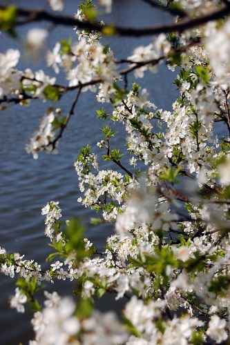 Blooming tree on the side of a lake