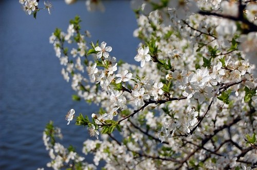 Blooming tree with water onbackground
