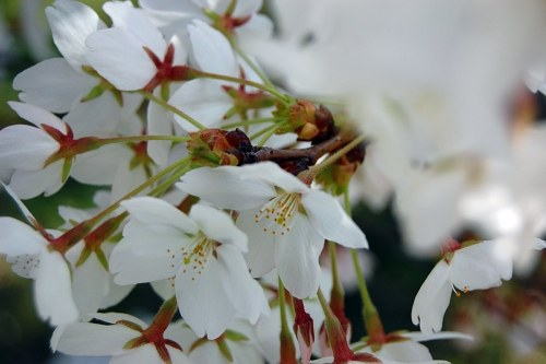 Blossomed cherry
