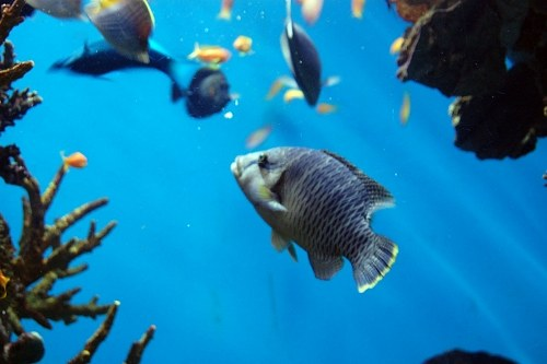 Free photos: Blue tang fish