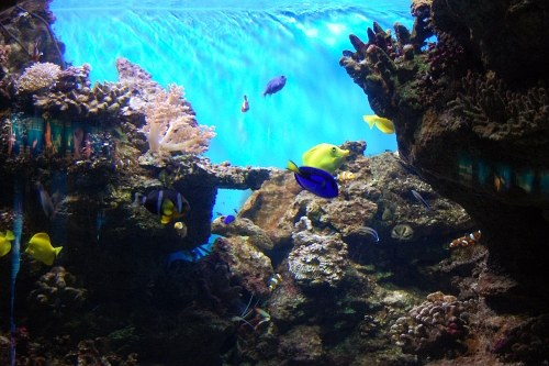 Colored tropical fishes in a coral reef