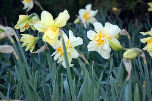 Daffodils during spring