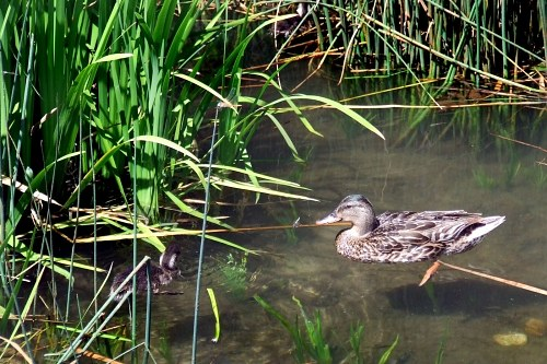 Duck and baby duck swimming on a swamp