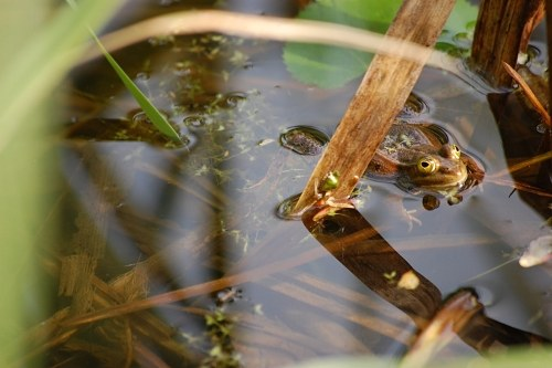 Frog at the water surface