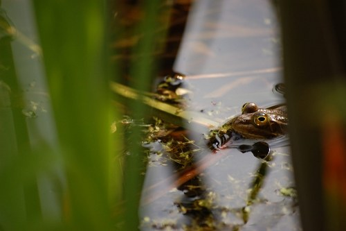 Frog between reed