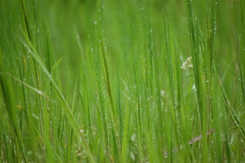 Green grass with rain drops