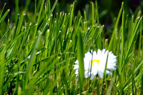 Macro of small white flowers in green grass