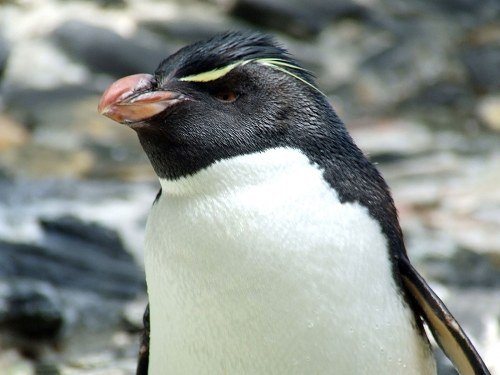 Penguin head