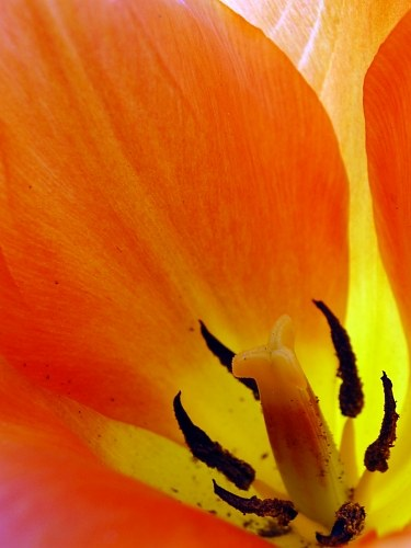 Free photos: Red tulip pistil and interior