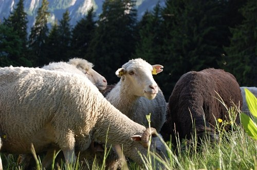 Free photos: Sheeps und Lämmer