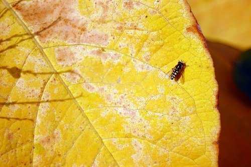 Small fly over a yellow leaf