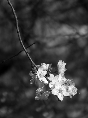 Spring flowers on a tree branch  black and white