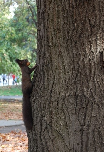 Squirrel climbing on a tree