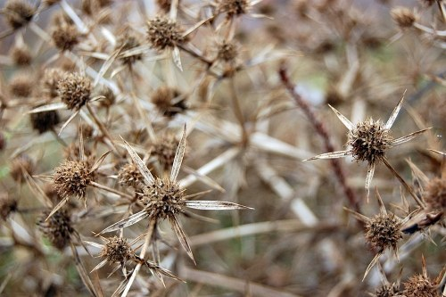 Star like dry thistle