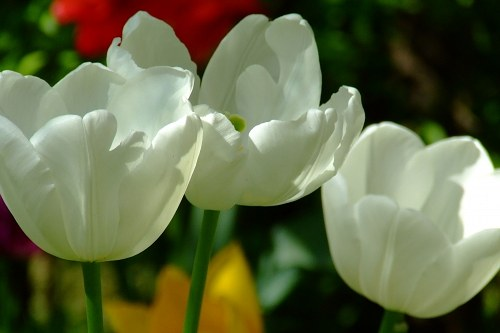 Three white tulips landscape shot