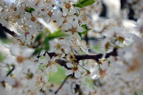 White spring flowers on tree branches
