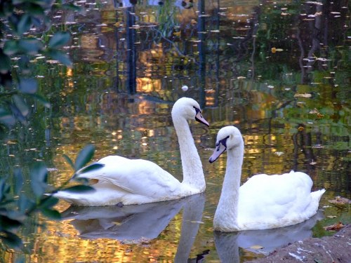 White swans on water during autumn