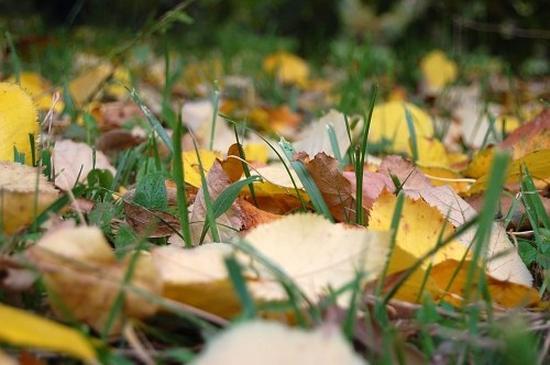 Yellow leafs in grass