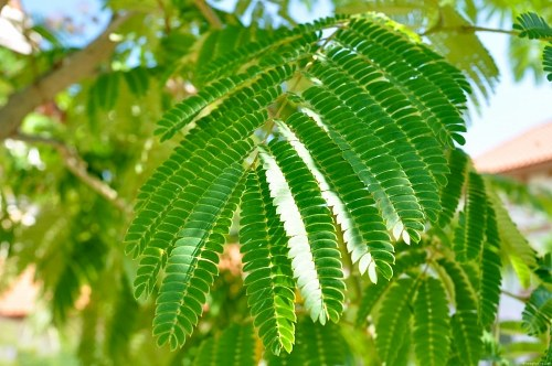 Free photos: Acacia leaf macro