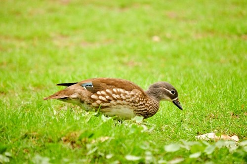 Aix sponsa wood duck
