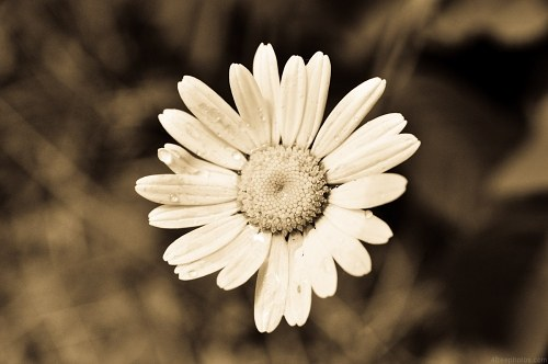 Free photos: Antique Marguerite