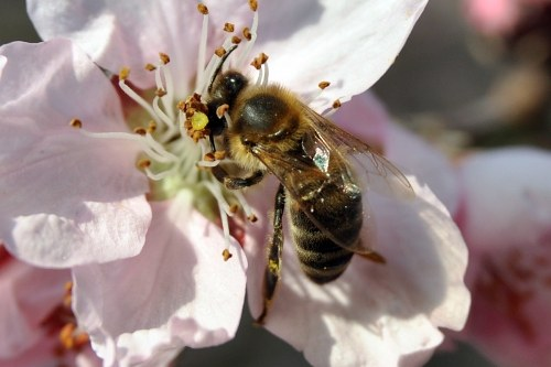 Free photos: Bee in cherry flower