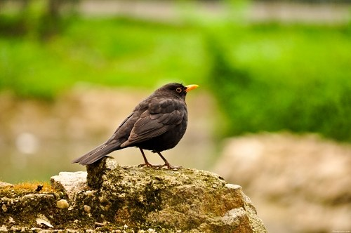 Black bird on stone