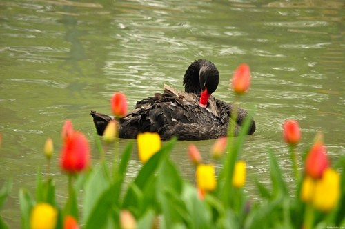 Black swan and  tulips