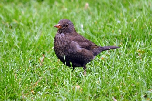 Blackbird female in grass