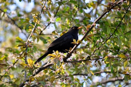 Blackbird in bloomed tree