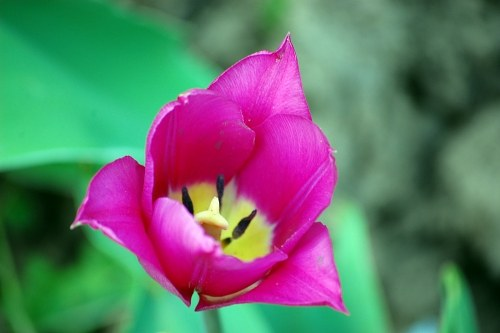 Free photos: Blooming pink tulip