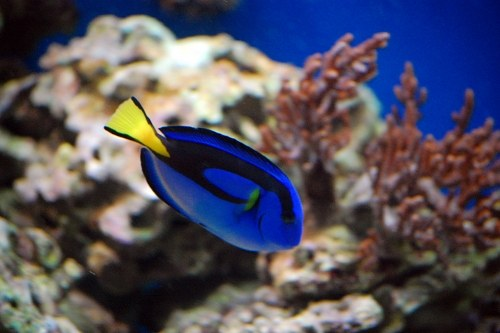 Free photos: Poisson bleu