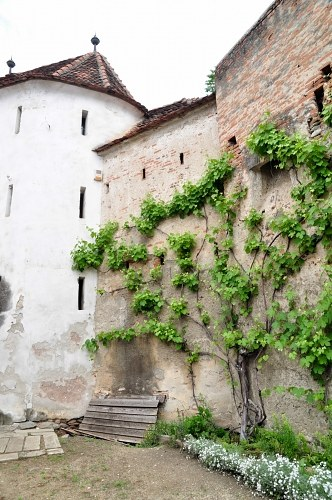 Castle wall with ivy plants