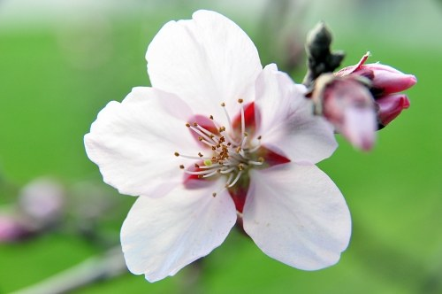 Free photos: Cherry fiore macro