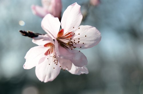 Free photos: Cherry flowers macro