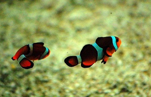 Free photos: nage des poissons clown