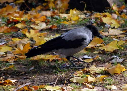 Free photos: Cornix Corvus