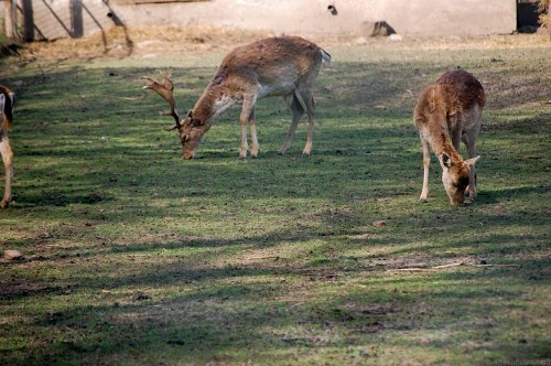 Deers in zoo
