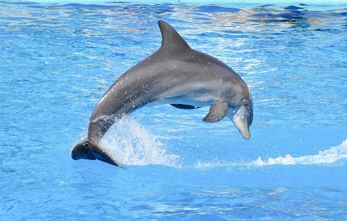 Dolphin jumping in water