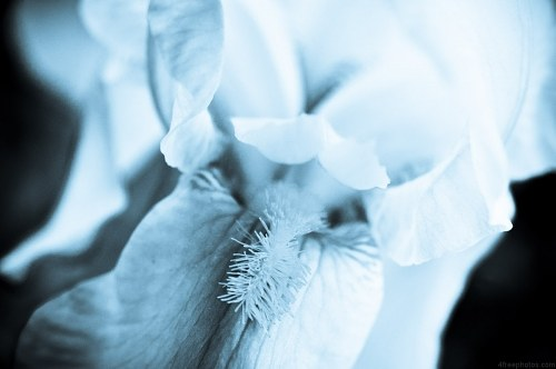 Free photos: Dream iris flower