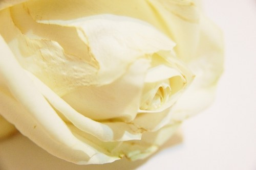 Free photos: Dreamy white rose