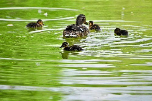 Free photos: Duck familly
