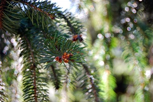 Free photos: Fir tree branch