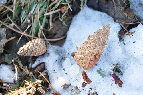 Fir tree cones in snow