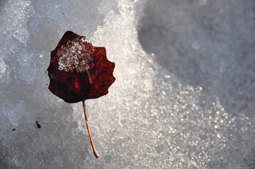 Frozen leaf in snow