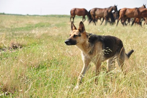 German Shepherd in grass