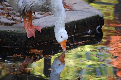 Goose reflection