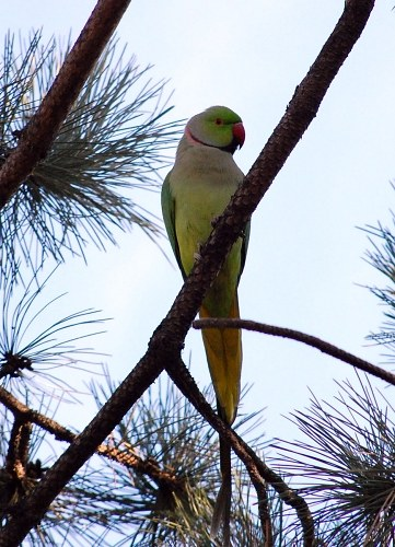 Free photos: Great Alexander parrot