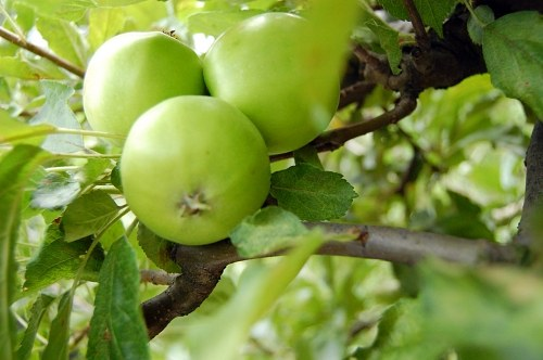 Green apples in tree
